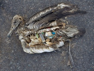 Dead albatross on Midway Island